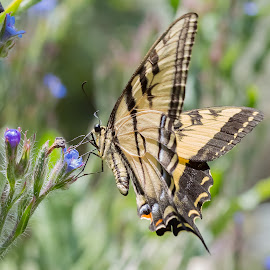Descanso Swallowtail 2 by David Hammond - Animals Insects & Spiders ( butterfly, nature, insects, garden,  )