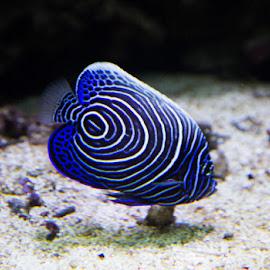 by Waldemar Dorhoi - Animals Fish ( fish )