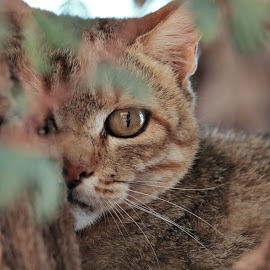 African Wildcat hiding in a tree  by Clarissa Human - Animals - Cats Portraits ( african wildcat, south africa, wildlife, africa, kalahari )