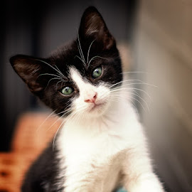 Maxy by Branko Askovic - Animals - Cats Kittens ( kitten, cat, black and white )