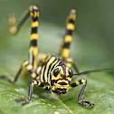 Giant Grasshopper Nymph