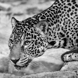 by Judy Rosanno - Black & White Animals ( san antonio zoo, november 2017,  )