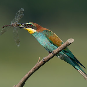 D:\01 GALERIJA FOTO\01 ptice\Čebelar - Rumenogrli čebelar - Merops apiaster\pixoto 2015\Merops-apiaster-217.jpg