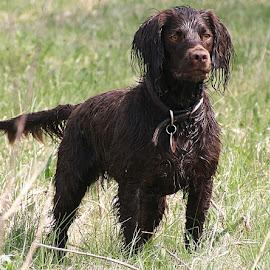 Meet Ollie, the Sprocker by Chrissie Barrow - Animals - Dogs Portraits ( spaniel, grass, male, tail, eyes, pet, sprocker, ears, fur, brown, legs, wet, dog, nose )