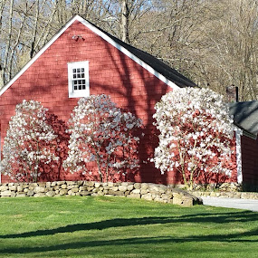 Springtime Barn by Sandy Hogan - Buildings & Architecture Other Exteriors ( building, red, red barn, early spring, spring, blossoming trees, springtime,  )