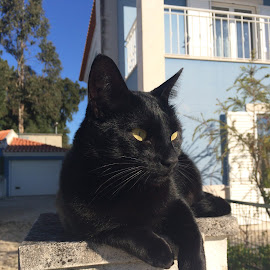 Black Cat by Carlos Narciso - Animals - Cats Portraits ( cat, cat with yellow eyes, cat taking sunbath, black, black cat )