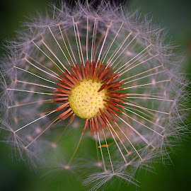 Hated But Beautiful! by Marco Bertamé - Nature Up Close Other Natural Objects ( dandelion, green, white, brown, seeds, yellow,  )
