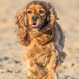 by Harold Blum - Animals - Dogs Running ( dogs )