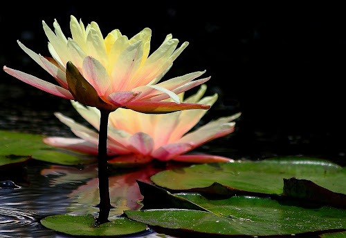 Two by Virginia Folkman - Nature Up Close Flowers - 2011-2013 ( ponds, water lilly, flowers )
