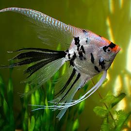 Angel Koi by Steve BB - Animals Fish ( freshwater, fish, aquarium, koi, angelfish, tank )