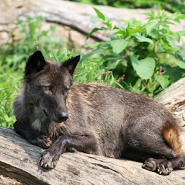 Female Black Wolf by Marsha Biller - Animals Other Mammals ( canine, female, wolf, laying, close up, tree trunk, black,  )