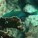 Yellowtail Parrotfish (terminal phase)