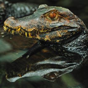 Caiman by Tomasz Budziak - Animals Reptiles ( reptiles, animals )