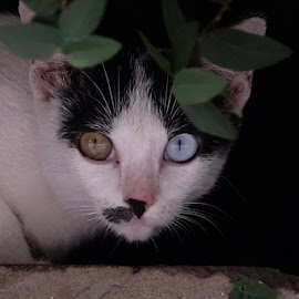 Yellow & Blue by Beh Heng Long - Animals - Cats Portraits ( cat eyes,  )