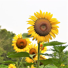 Sunflowers by Mary Gallo - Flowers Flower Gardens
