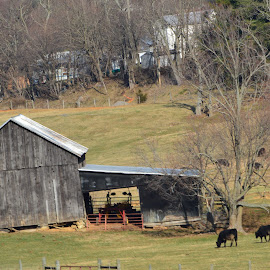 Barn by Sarah Burroughs-McGehee - Buildings & Architecture Other Exteriors ( building, grazing, barn, grass, cows,  )