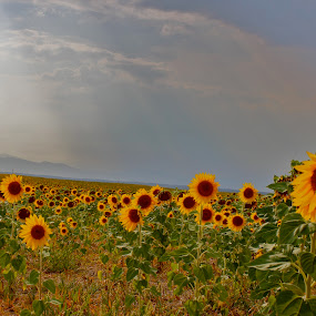 Sunflower Afternoon   by Emily Jones - Landscapes Prairies, Meadows & Fields ( field, beams, sunflower, yellow, flowers )