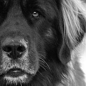 BIg Boy by MarySue Price - Animals - Dogs Portraits ( canine, dog portrait, leonberger photo, dog, leonberger )