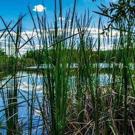 Water grasses by Rick King - Nature Up Close Leaves & Grasses ( clouds, water, grasses, blue sky, blue, waterscape, green, florida, orlando, shingle creek, close up, pond, closeup, close,  )