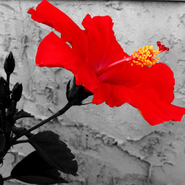 Red Hibiscus by Linda Doerr - Digital Art Things ( hibiscus, red, black and white, brilliant, flower,  )