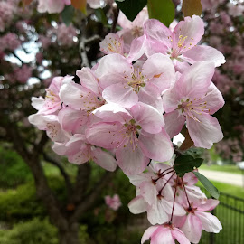 Crab apple blossom by Lyndon Johnson - Nature Up Close Trees & Bushes
