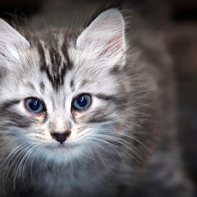 Darcy by Mohd Roslan Hisam - Animals - Cats Kittens ( cats, kitten,  )
