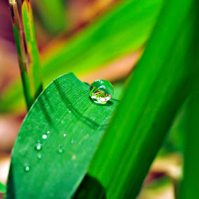Drop by Ruben Dela Cruz - Nature Up Close Leaves & Grasses