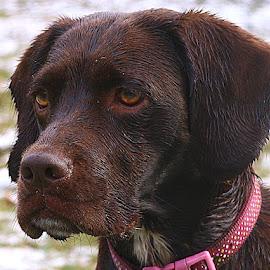 Wet Poppy by Chrissie Barrow - Animals - Dogs Portraits ( damp, spaniel, pet, ears, fur, brown, wet, dog, crossbreed, nose, portrait, eyes )