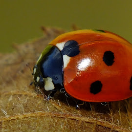 7 Spot Ladybird by Pat Somers - Animals Insects & Spiders (  )