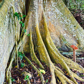 wide Root by Cristiane Ouricchio - Nature Up Close Trees & Bushes (  )