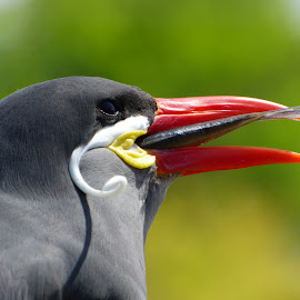 Good Catch by Heather Clark - Animals Birds ( bird eating, colourful, fish, fishing )