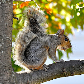 squirrel by Mark Reyfman - Animals Other ( sky, tree, beautiful, fall, leaves, squirrel )