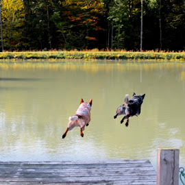 Dash and splash by Sarah Connaughton - Animals - Dogs Running ( australian cattle dogs, water, dogs, jumping, outdoor, action, pond,  )