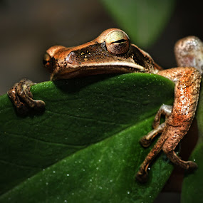 Sleepy by Ari Wid - Animals Amphibians ( frog, amphibian, sleepy, katak, amphiby, kodok )