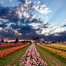 Texas Tulips by Amitabh Mukherjee - Landscapes Prairies, Meadows & Fields ( shades, colors, texas, mood, spring, blossom, field, farm, sky, sunset, tulip, cloud, light )