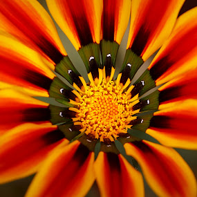 ~Gazania~ by Kamelia Dandapat - Flowers Single Flower ( natural light, macro, gazania, red, nature, single flower, outdoor, close-up, floral, flower,  )