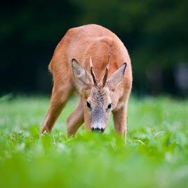 Eye to eye by Blaž Ocvirk - Animals Other Mammals ( roe, deer )