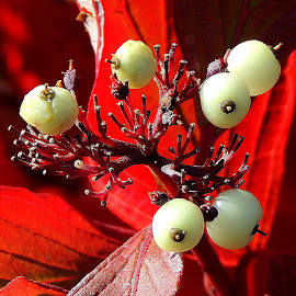 Red Osier Dogwood Berries Close by Becky Luschei - Nature Up Close Trees & Bushes ( red osier dogwood, resemble, wax berry, snow berry, close, berries )
