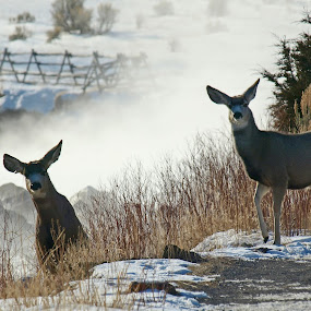 Mule Deer... by Diana Treglown - Animals Other Mammals ( yellowstone, winter, montana, wyoming, rivers, morning, deer )