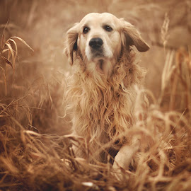 Golden by Kasia Doroszkiewicz - Animals - Dogs Portraits ( #golden #love #retriever #dog #animal )