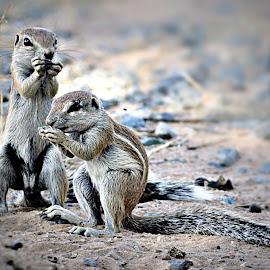 Ground Squirrels by Pieter J de Villiers - Animals Other