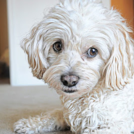 t 3 by B Lynn - Animals - Dogs Portraits ( hdr., mutt., mutts., whites., white. )