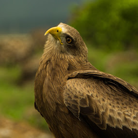 Ngorongoro Kite by Tom Howes - Animals Birds ( tanzania, birds )