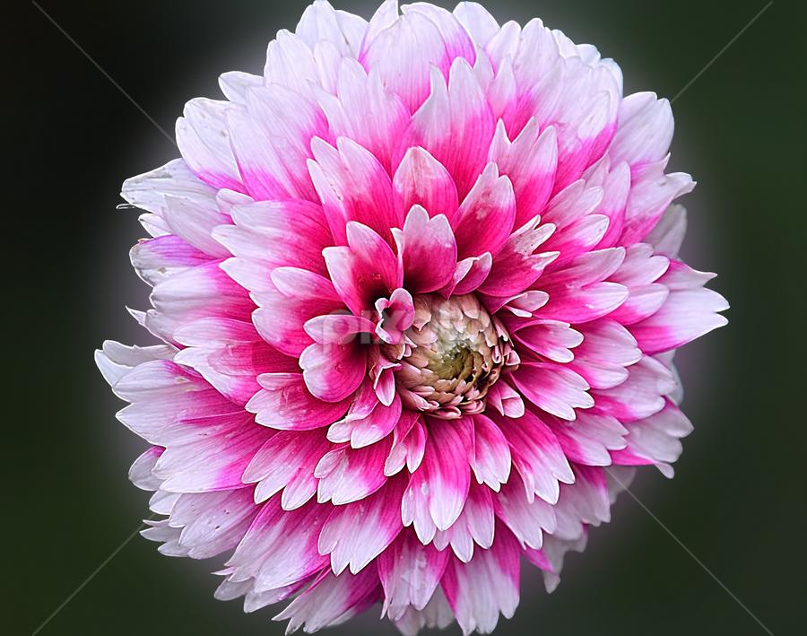 beautifu dahlia by LADOCKi Elvira - Flowers Flower Gardens
