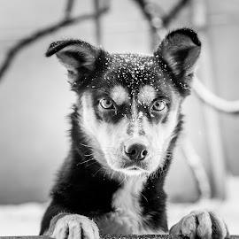 Sara by Adrian Pruteanu - Animals - Dogs Portraits ( winter, dogs, black and white, joy, snow, puppy )