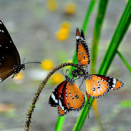 Butterfly by Akshay K - Animals Insects & Spiders ( orange, green, butterfly, black, three,  )