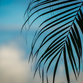 Palm Silhouttte by Laurie Crosson - Nature Up Close Other plants ( sky, palm tree, close up, silhouette, costa rica )