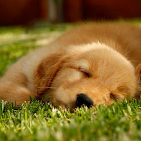 sweet dreams by Cristobal Garciaferro Rubio - Animals - Dogs Puppies ( dreams, grass, sleeping, golden retriever )
