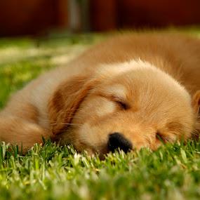 sweet dreams by Cristobal Garciaferro Rubio - Animals - Dogs Puppies ( dreams, grass, sleeping, golden retriever )
