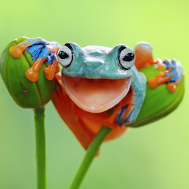 Happy Frog by Kurit Afsheen - Animals Amphibians ( macro, tree frog, amphibian, funny, frogs, close up, animal )